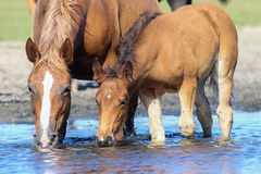 Brown mother horse and foal drinking water. On the watering place royalty free stock image