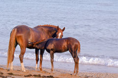 Brown mother horse take care about it's child Stock Image