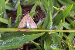 Brown-Motte, die auf Tau bedecktem Gras stillsteht lizenzfreie stockbilder
