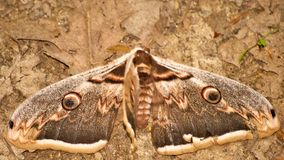 Brown-Mottenflügel Stockfoto