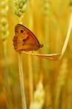 Brown motyl Zdjęcia Royalty Free