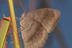 Brown motyl zdjęcie royalty free