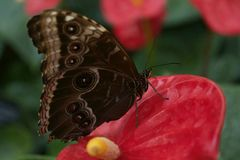 Brown motyl na Czerwonym Lilly Obraz Stock