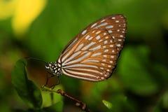 Brown motyl na zielonym tle Obraz Stock