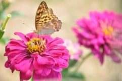 Brown motyl siedzi na jaskrawym menchia kwiacie fotografia royalty free