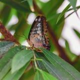 Brown motyl z białymi punktami parthenos Sylvia Fotografia od motyla domu Zdjęcia Royalty Free