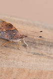 Brown motyla antena Obrazy Royalty Free