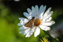 Brown motyli pozować w białym kwiacie Zdjęcie Royalty Free