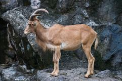 Brown mountain goat Royalty Free Stock Photos