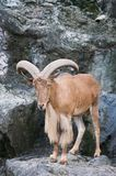 Brown mountain goat Stock Photography