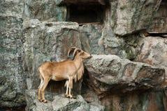 Brown mountain goat Royalty Free Stock Image
