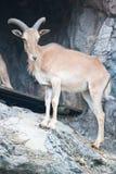 Brown mountain goat Royalty Free Stock Photos