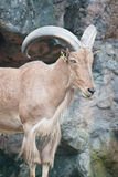 Brown mountain goat Royalty Free Stock Photo