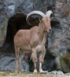 Brown Mountain Goat Royalty Free Stock Photography