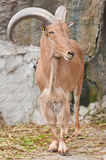 Brown Mountain Goat Royalty Free Stock Images