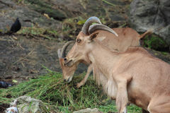 Brown mountain goat eating grass Stock Photos