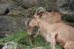 Brown mountain goat eating grass Stock Photos