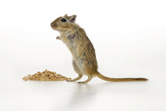 Brown mouse. Brown mouse and corn, on white background Royalty Free Stock Images