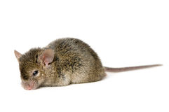 Brown Mouse. A cute brown mouse in white background stock photo