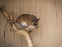 Brown mouse on brach. Natural spiny mouse royalty free stock photos