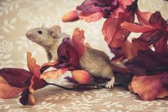 Brown mouse fall colors stock images