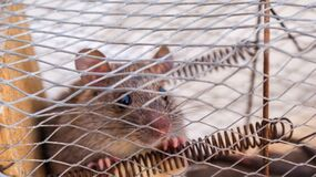 Brown Mouse Inside Mouse Trap during Daytime Royalty Free Stock Image