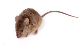 Brown Mouse Royalty Free Stock Photos