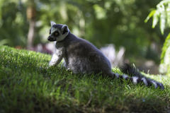 are Ring Tailed Lemurs Stock Photos