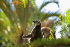 are Ring Tailed Lemurs Royalty Free Stock Images