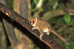 The brown mouse lemur. (Microcebus rufus) at night in Ranomafana national park, Madagascar Royalty Free Stock Image