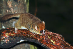 Brown Mouse Lemur (Microcebus rufus) in a rain forest Royalty Free Stock Photo