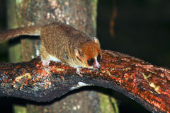 Brown Mouse Lemur (Microcebus rufus) in a rain forest Royalty Free Stock Photography