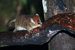 Brown Mouse Lemur (Microcebus rufus) in a rain forest Stock Photography