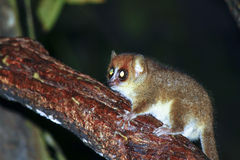 Brown Mouse Lemur (Microcebus rufus) in a rain forest Royalty Free Stock Photos