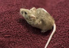 Brown mouse red backdrop stock photo