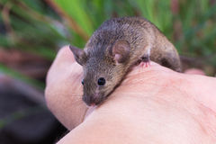 Brown Mouse, Rodent, Rat Royalty Free Stock Images