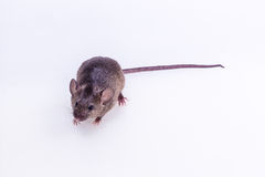 Brown Mouse, Rodent, Rat. On white background Stock Images