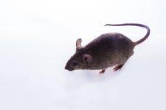 Brown Mouse, Rodent, Rat Stock Photos