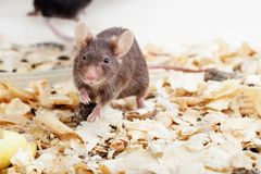 Brown mouse sawdust Stock Photo