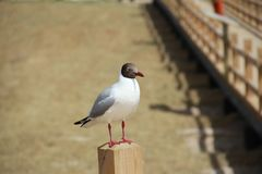 Brown mouth gull Royalty Free Stock Photo
