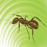 Brown mrówka Zdjęcia Stock