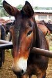 Brown muł w Corral Obraz Stock