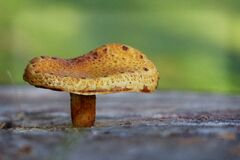 Brown Mushroom Royalty Free Stock Image