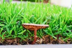 Brown mushroom. Close-up of brown mushroom and grass, taken in Florida Stock Photo