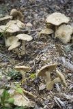 Brown Mushroom cluster. A group of mushrooms clustered together in tight formation growing on a meadow floor stock image