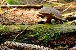 Brown mushroom growing from a tree branch. In forest Royalty Free Stock Photos