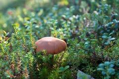 Brown mushroom hidden in green plants on forest floor Stock Images