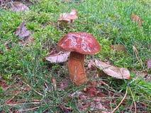 Brown mushroom Royalty Free Stock Image