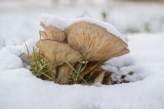 Brown Mushroom on Snow Stock Images