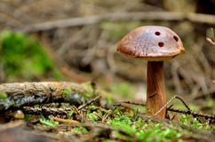 Brown mushroom with three holes Stock Images